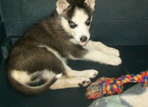 Navajo Is An Adoptable Siberian Husky Dog In Norris City Il This