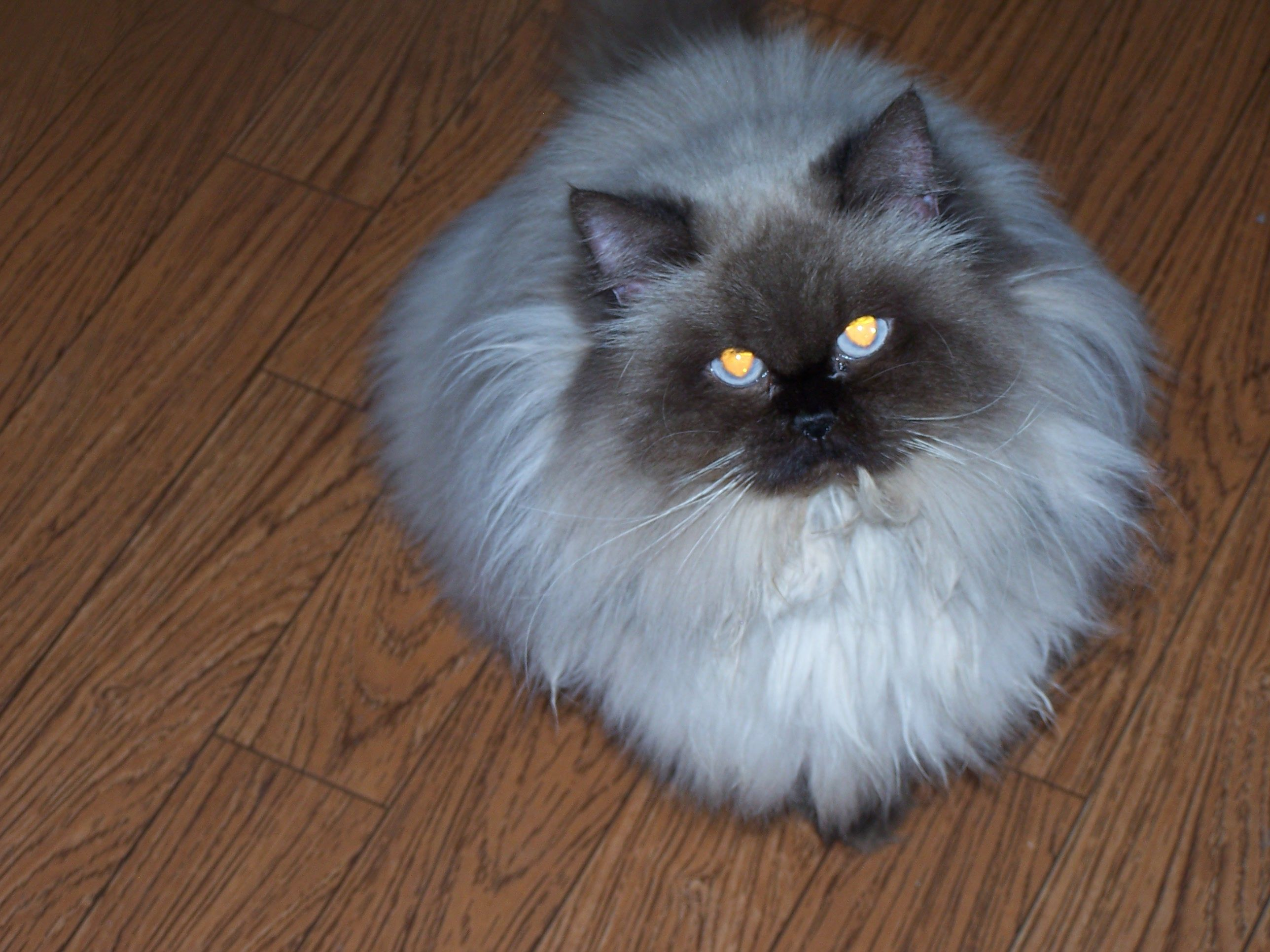 HIMALAYAN PERSIAN & MIXED BREED LOVE SOME CATS LOVE FOR