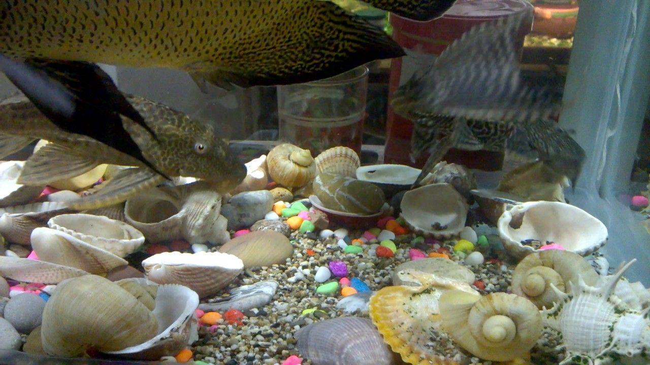 Fish aquarium quotes - Aquarium Pleco Fish Aquarium Pleco Fish Dance