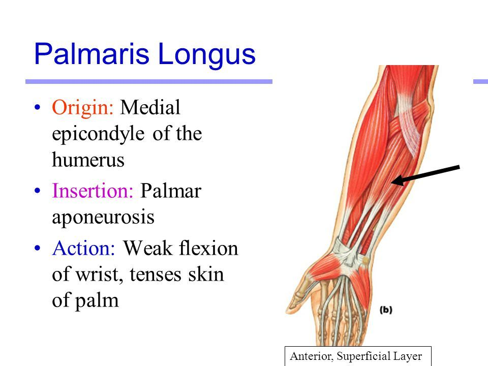 Muscles Martini Chapter Ppt Video Online Download Anatomy