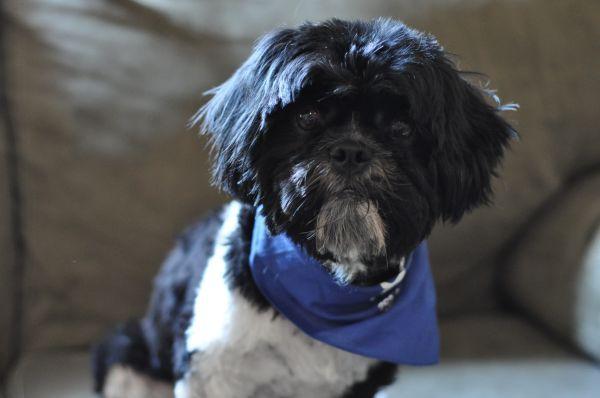 Help Find Kash Lost Shih Tzu Last Seen On Knight S Haven In San Antonio Tx Male Neutered B W Microchip Please S Shih Tzu Pets Animals
