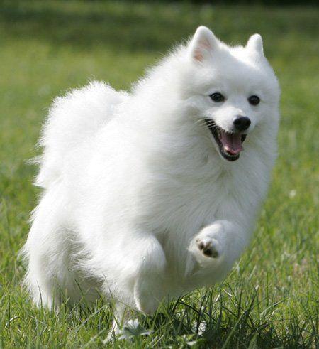 Image Detail For Nihon Supittsu Source Japonskyspic C Est Super Gentil Comme Chien Japanese Dogs American Eskimo Dog Samoyed Puppy