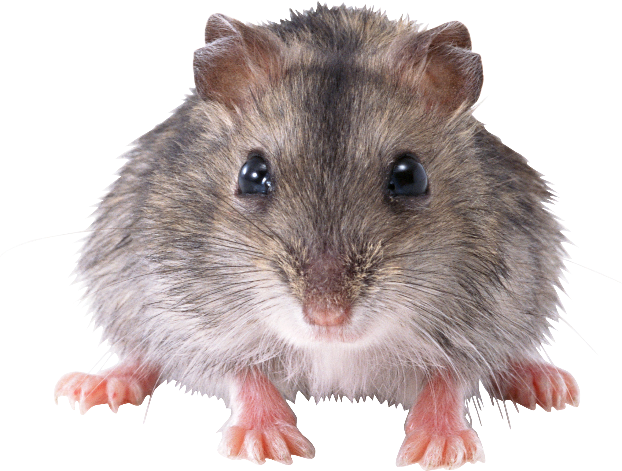Rat Mouse Png2465 Png 2035 1540 Animals Hamster Mouse Rat