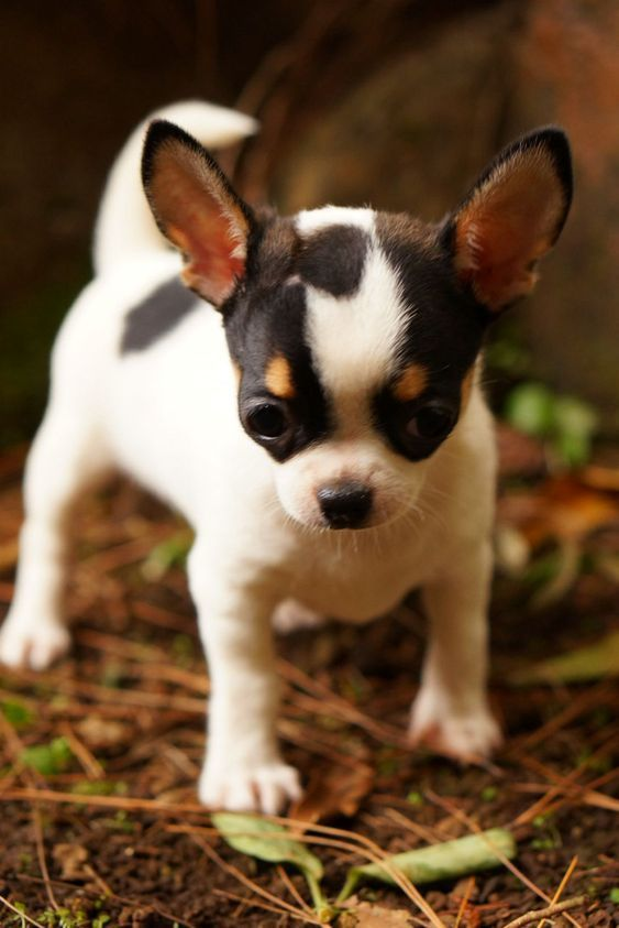 Chihuahua | Dog Breed | Information and Pictures | Cute Dogs