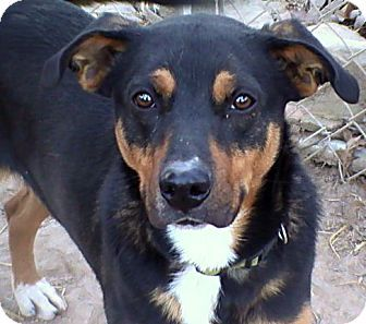 Hagerstown, MD Greater Swiss Mountain Dog/Terrier