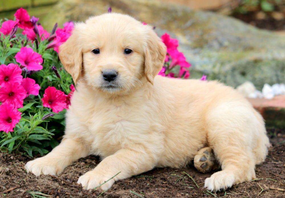 Dogs Puppies Doggiesfurever Instagram Posts Videos Stories On Stalkgram Xyz Puppies Golden Retriever Puppies For Sale
