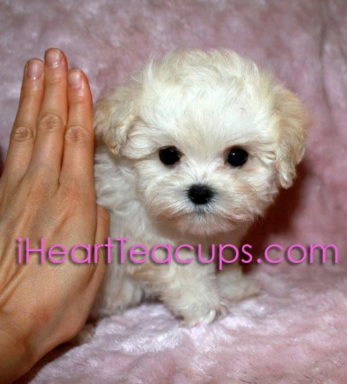 Meet Lil Jolly A Cream Colored Teacup Maltipoo Maltese Poodle