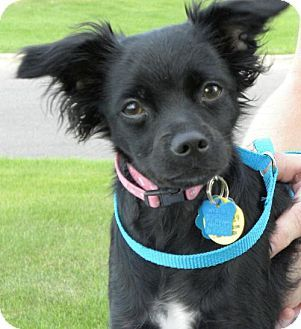 Minneapolis Mn Chihuahua Mix Meet Licorice Puppy A Dog For