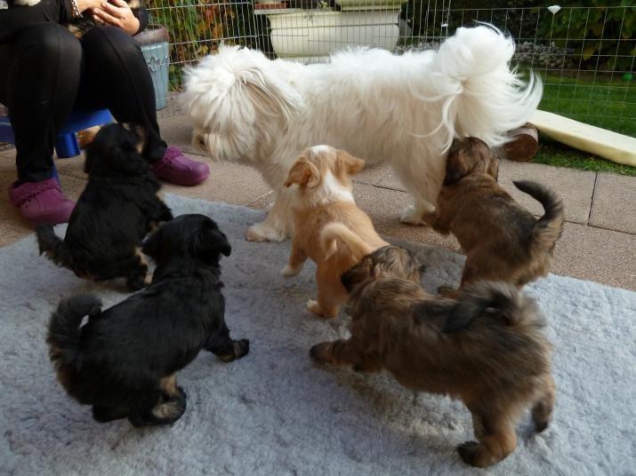 Tibet Terrier Welpen Baghira (meine Geschwister)