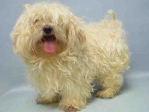 Brooklyn Center BARRY – A1069921  MALE, WHITE, MALTESE, 5 yrs STRAY – STRAY WAIT, NO HOLD Reason ABANDON Intake condition EXAM REQ Intake Date 04/10/2016, From NY 11354, DueOut Date 04/13/2016, I came in with Group/Litter #K16-053136.  Urgent Pets on Death Row, Inc