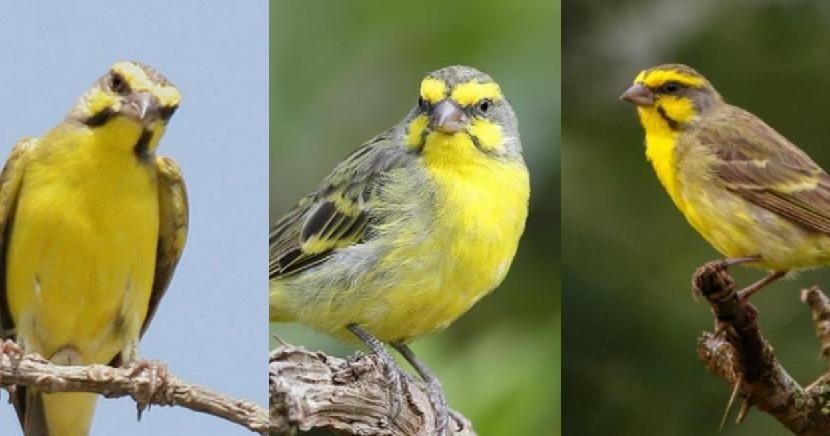 Download Suara Burung Mozambik Jantan Dan Betina Burungpedia Com Burung Kakatua Burung Suara