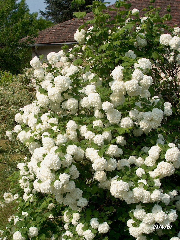 viburnum opulus 39 roseum 39 european snowball viburnum 10 x. Black Bedroom Furniture Sets. Home Design Ideas