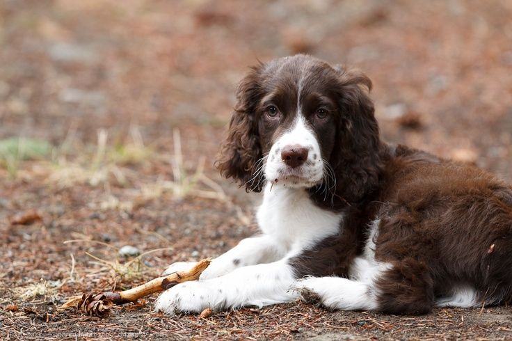 Pin By Elaine B On Animals In 2020 English Springer Spaniel Springer Spaniel Puppies Spaniel Puppies
