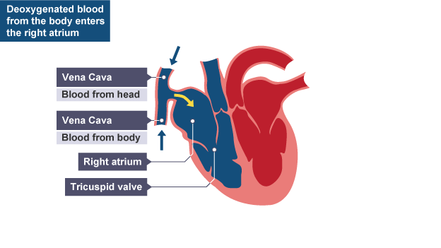 Cross section of human heart showing deoxgenated blood from the body cross section of human heart showing deoxgenated blood from the body entering the right atrium ccuart Choice Image