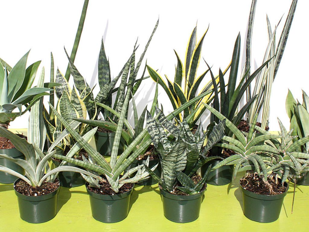 how to grow and care for sansevieria growing caring for succulents plants sansevieria. Black Bedroom Furniture Sets. Home Design Ideas