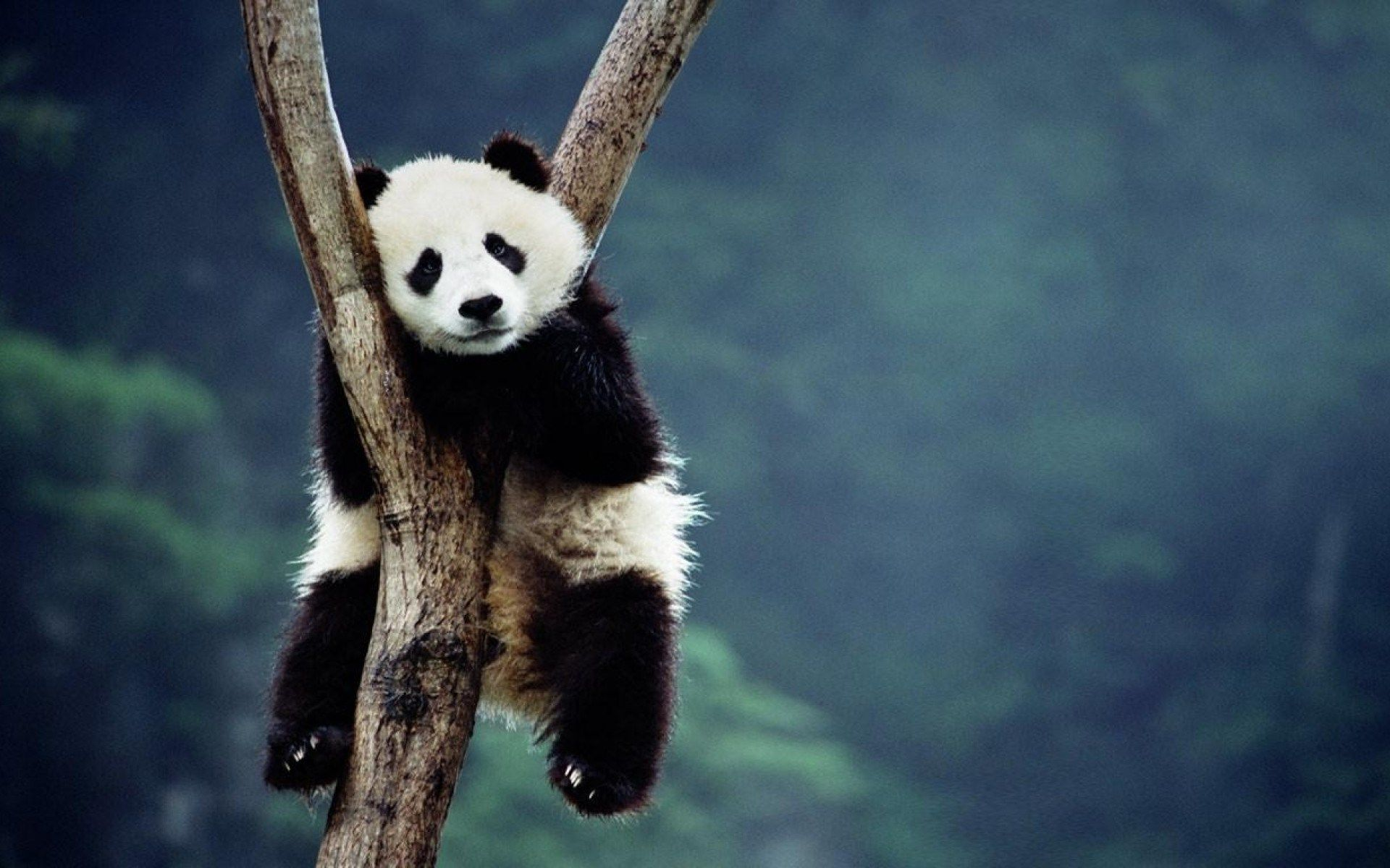 Free Wallpaper And Screensavers For Panda 314 Kb Seward Wilkinson Panda Wallpapers Panda Bear Animal Wallpaper