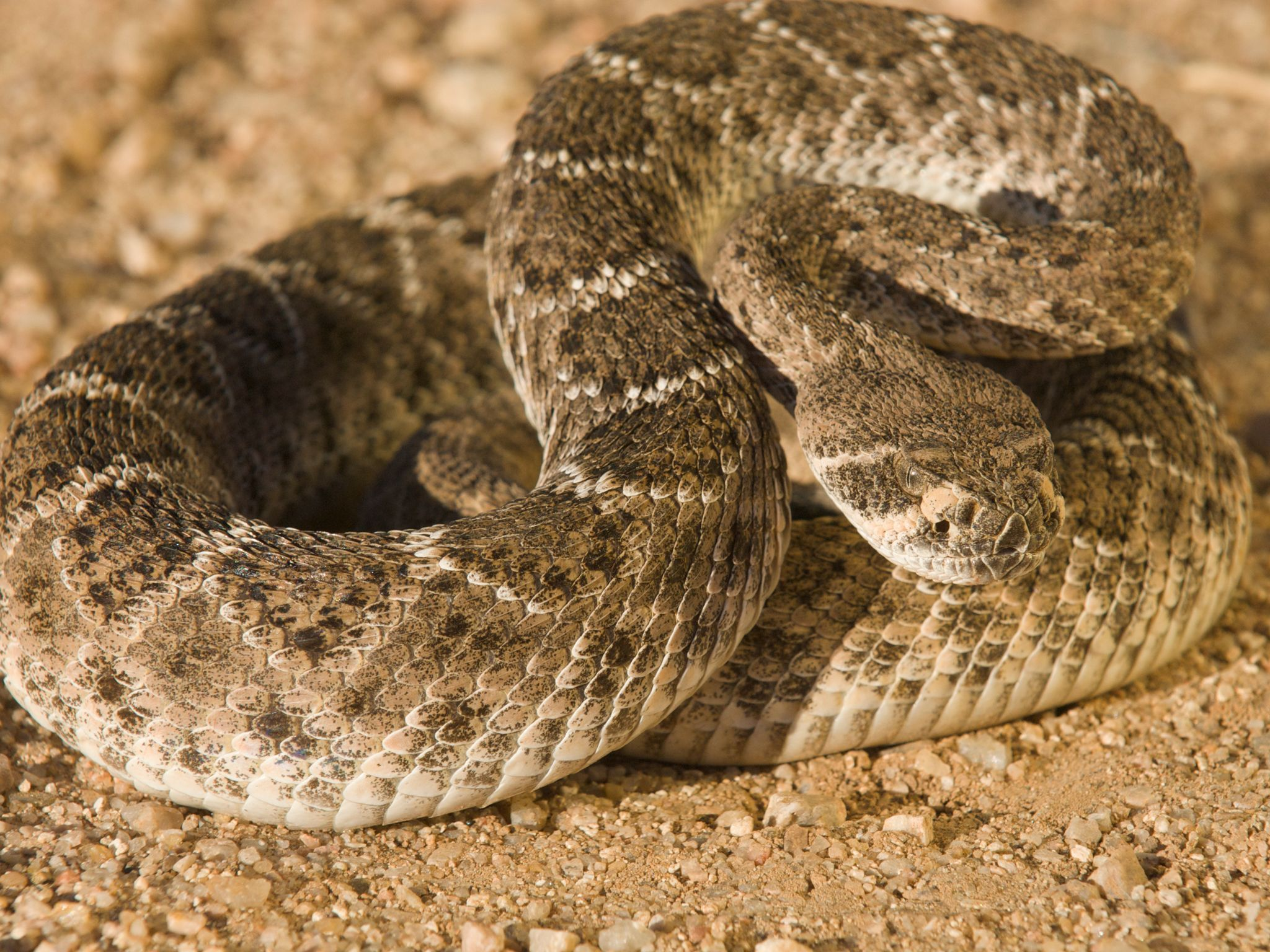A Diamondback Rattlesnake Coiled Ready To Strike Rattlesnake