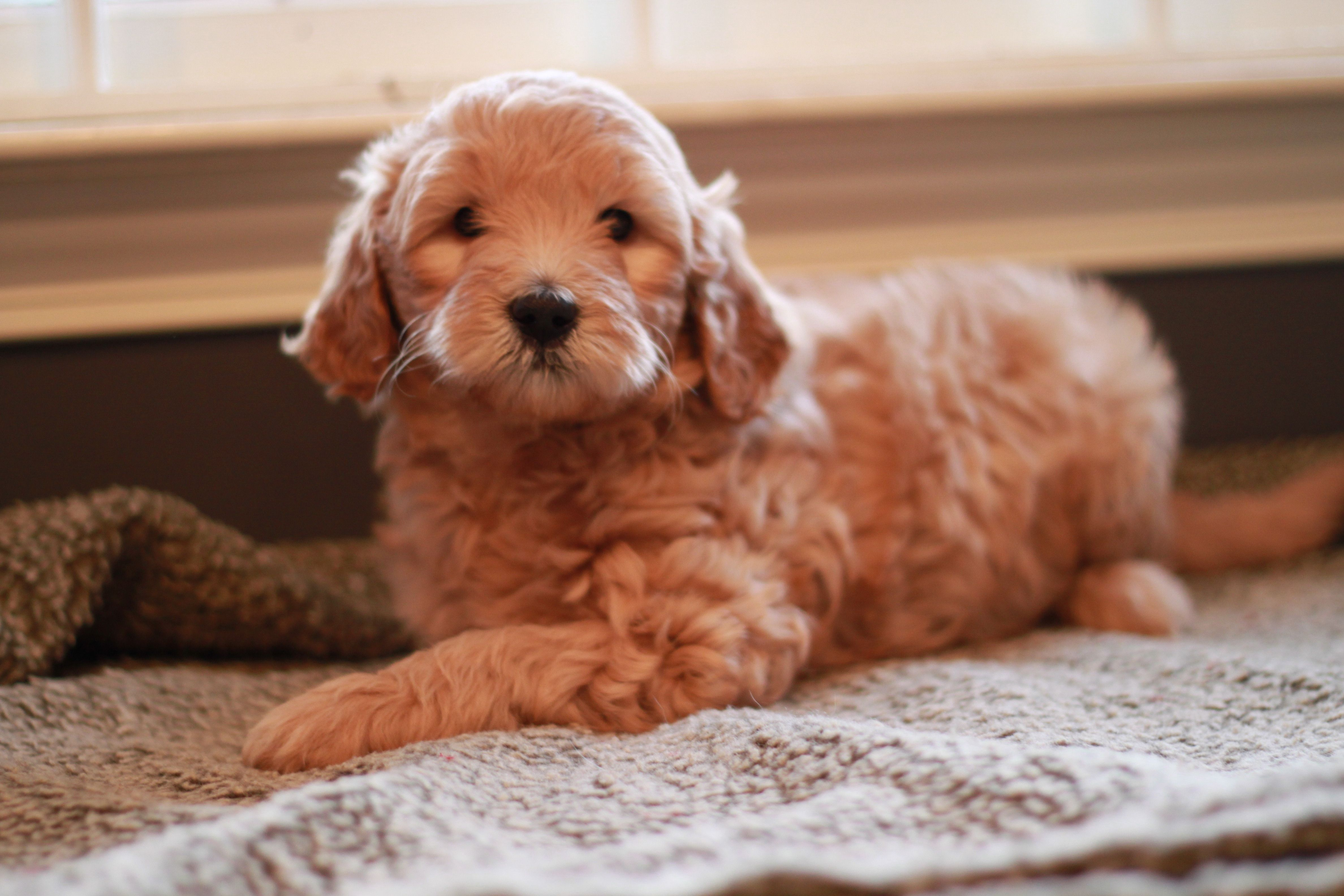 Goldendoodle Puppy From River Valley Doodles Jada S 2013 Litter