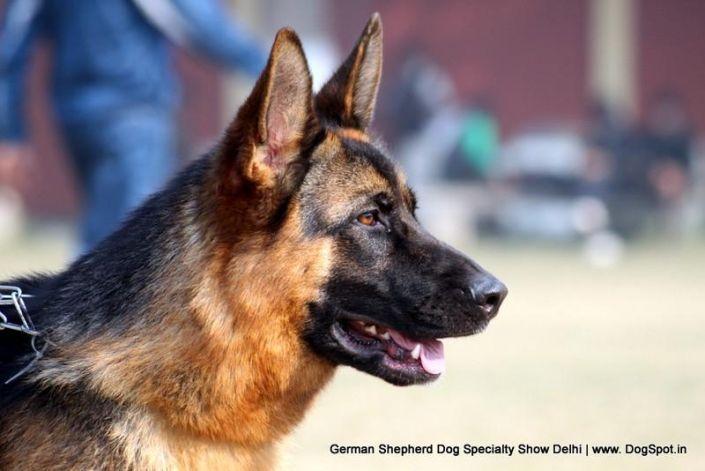 Http Www Dogspot In Photos German Shepherd Dog Specialty Show