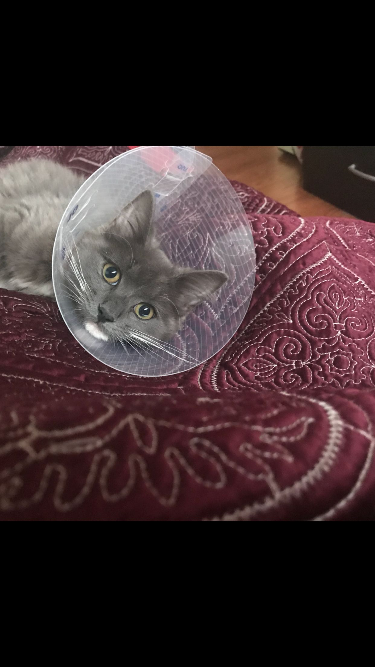 Lola Wearing Her Cone Celestial Bodies Kitty Cats