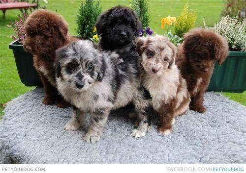 Bernese Husky Mix Australian Shepherd Poodle Mix Cute Animals Puppies
