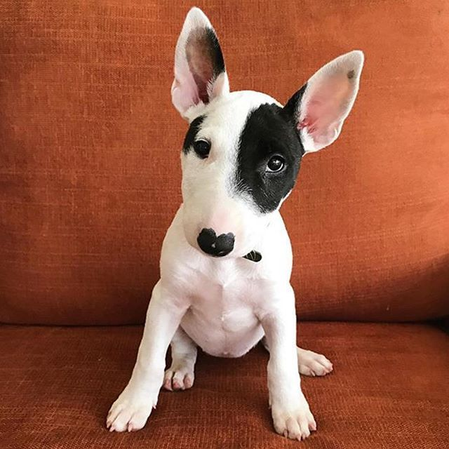 Lhope You Re Doing Well From Your Friends At Phoenix Dog In Home Dog Training K9katelynn See More About Sc Alpha Dog Training Bull Terrier Bull Terrier Puppy