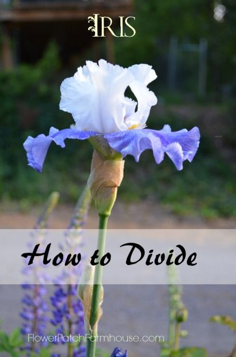 How to Successfully Divide Iris Rhizomes to get many more to give to friends!  FlowerPatchFarmhouse.com