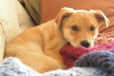 yellow lab mix puppies - photo #34