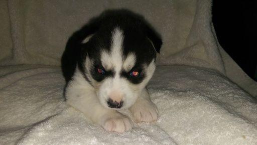Litter Of 6 Siberian Husky Puppies For Sale In Ellendale Mn Adn