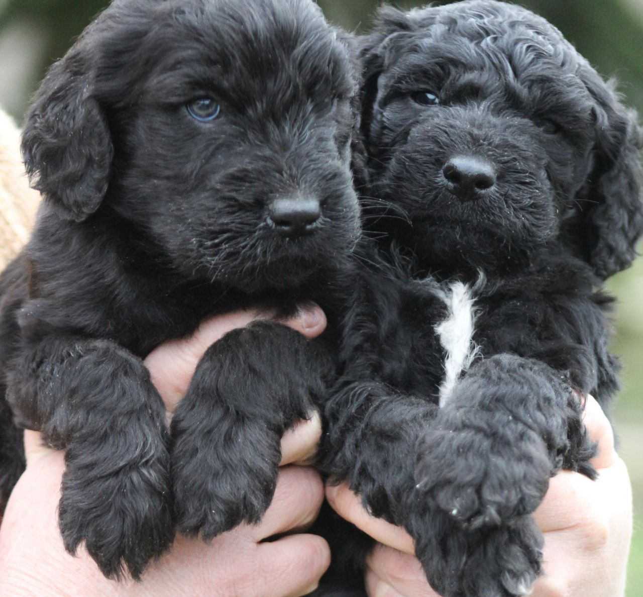 Black Goldendoodle Puppies For Sale Animals Pinterest
