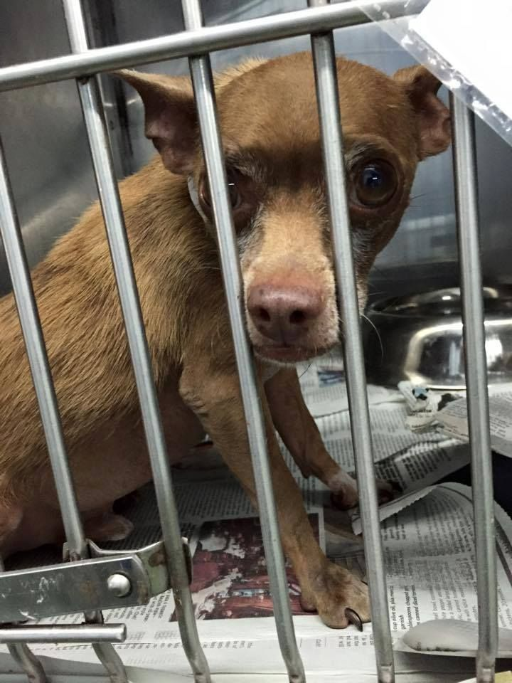Safe Urgent Owner Surrendercoco 5 Yo Neutered Chi Mix Boy Sweet A Little Scared About 7 Lb At Mdas In Miami Hier Mia Animals Furry Friend Mixed Boy