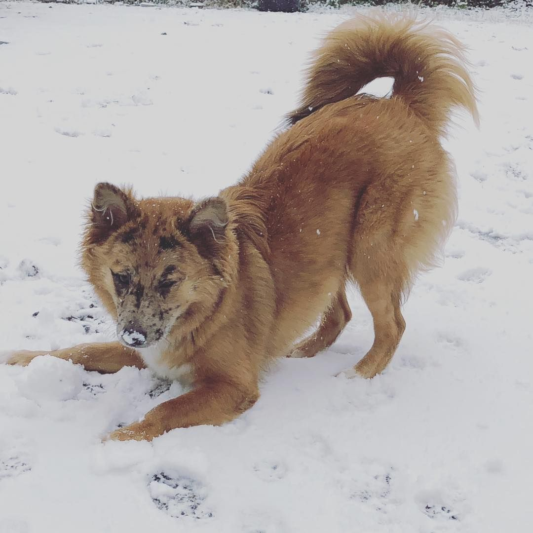Australian Shepherd Shiba Inu Mix Named Luisa Australian Shepherd Hybrid Dogs Working Dogs