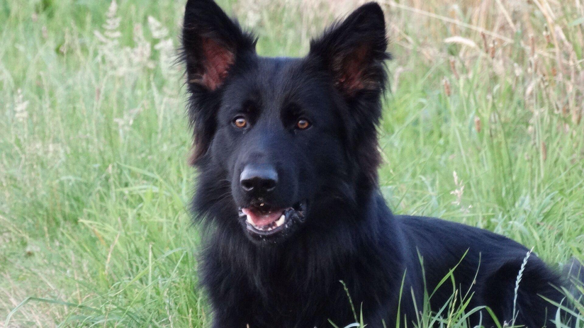 Lexington Vom Lappwald Schäferhunde, Hunde, Deutscher