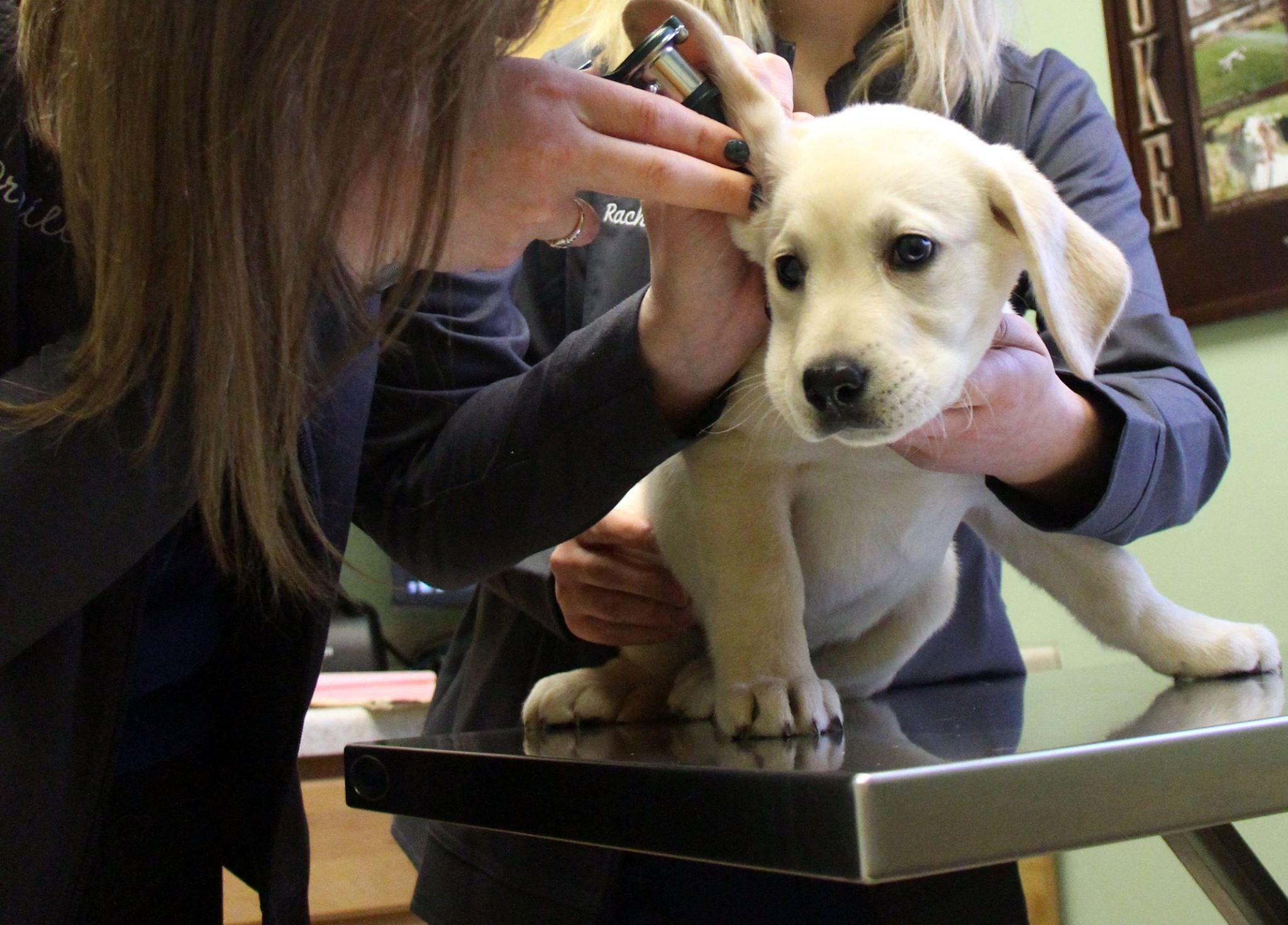 Labrador SportsVet AMC DogsOfPinterest Dogs Pet