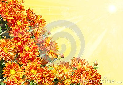 Background with golden, yellow chrysanthemums