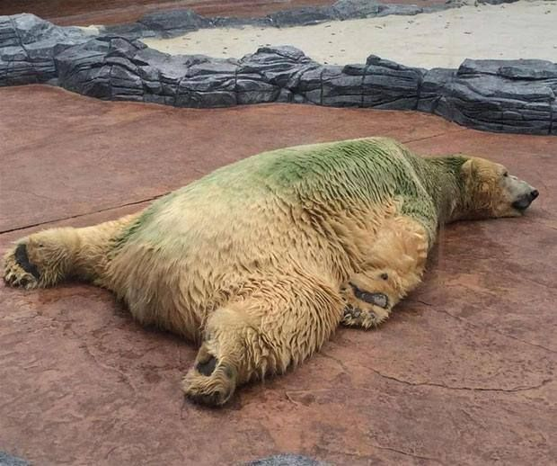 Inuka Prize Exhibit At Singapore Zoo Suffers 24 Hrs A Day In The Heat With Algae All Over Him It S Tot Singapore Zoo Animal Abuse Awareness Animal Activism