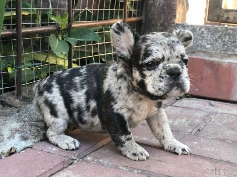 French Bulldog Puppies For Sale In Wv French Bulldog Puppies
