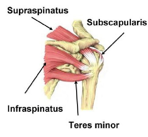 Actions of Rotator Cuff Muscles | The four muscles that make up your ...