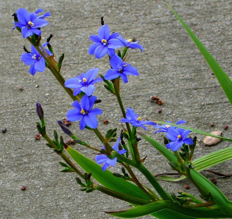 ARISTEA ECKLONII Blue Star This rare African iris is a
