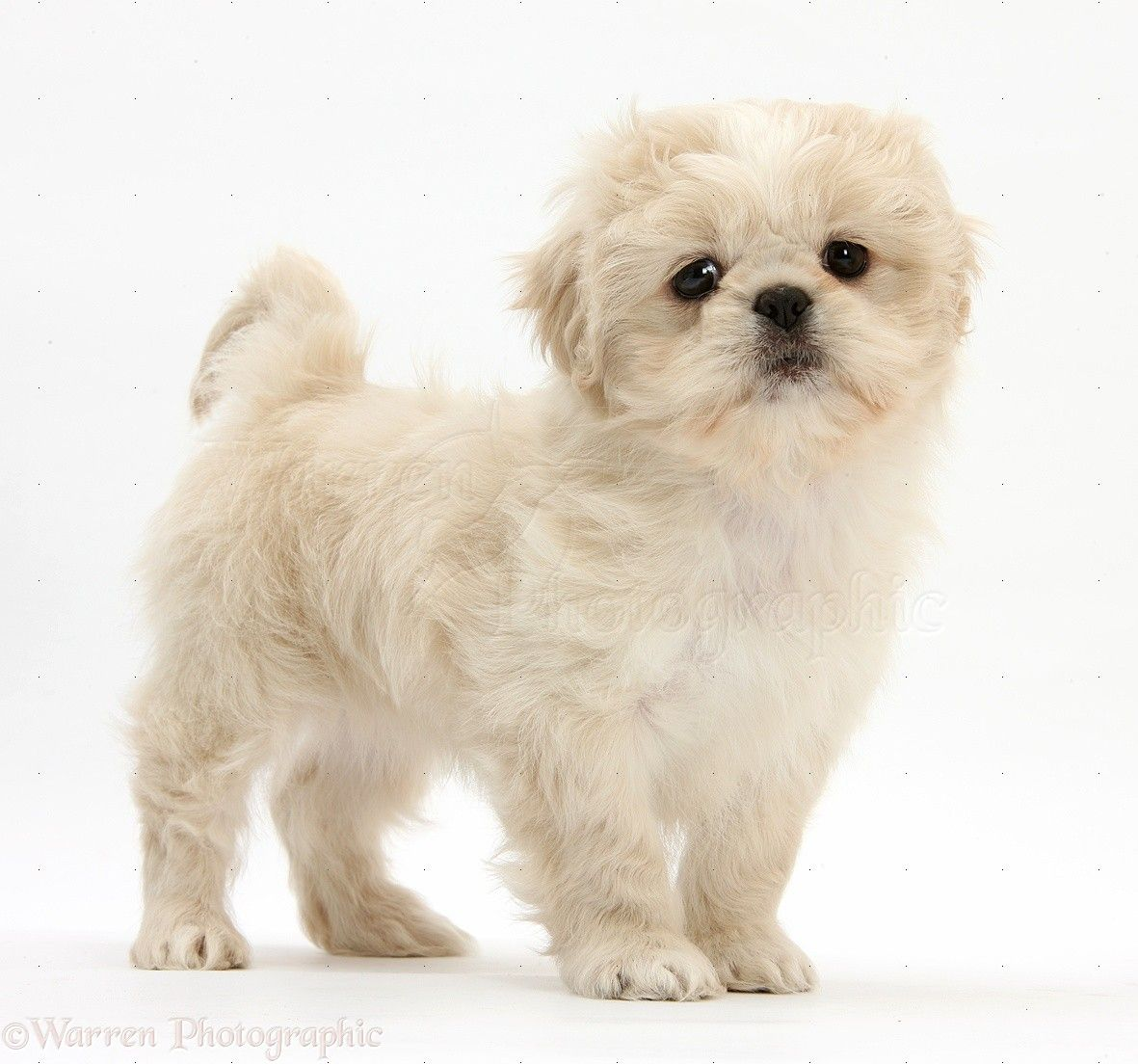 Wp38134 Cream Shih Tzu Pup Lilly 7 Weeks Old Standing Shih