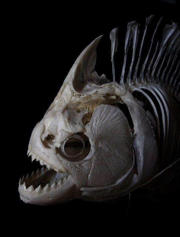 Piranha skeleton tattoo - photo#31