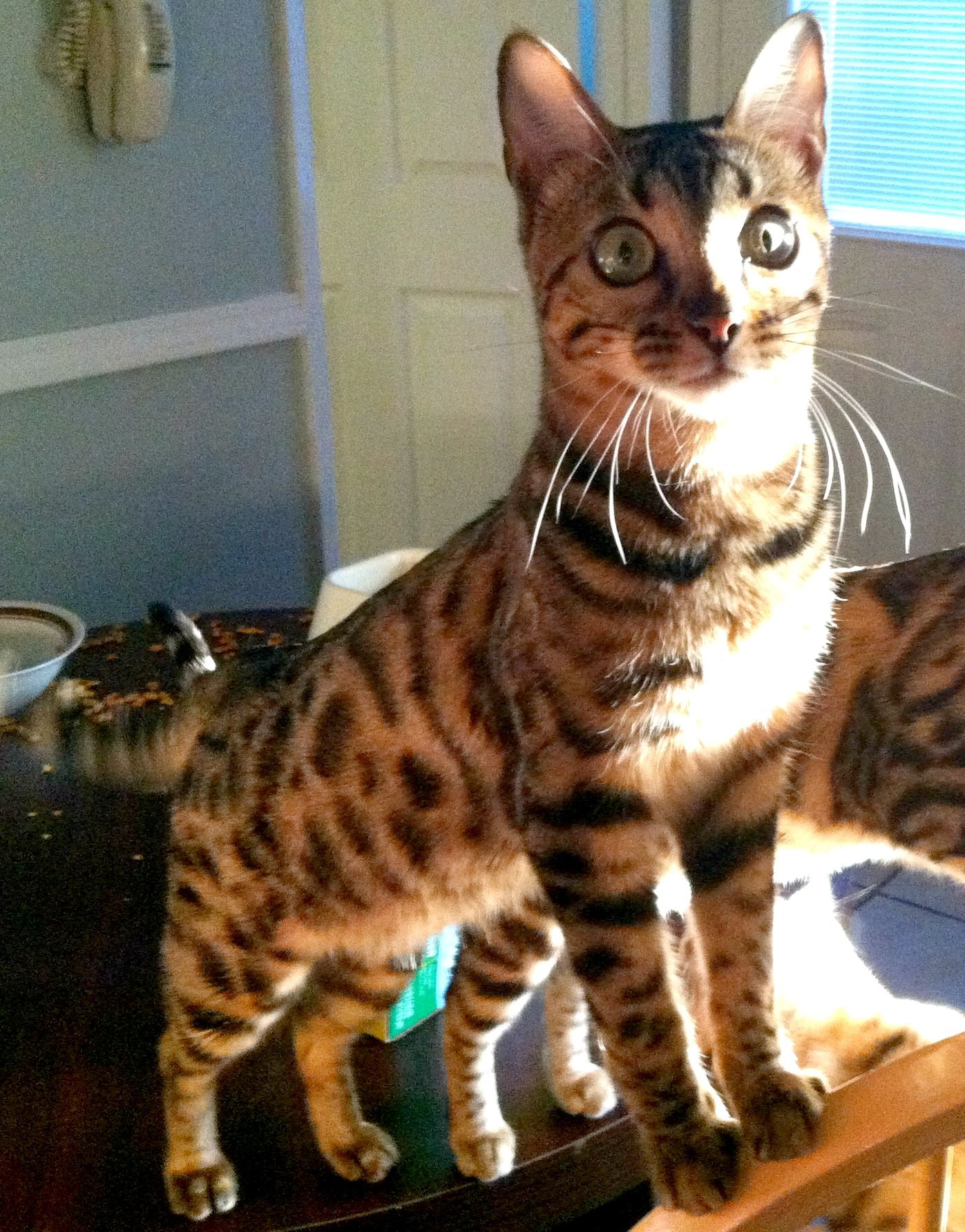 ShowMe Pictures of Bengal Cats Bengal Cat Pinterest
