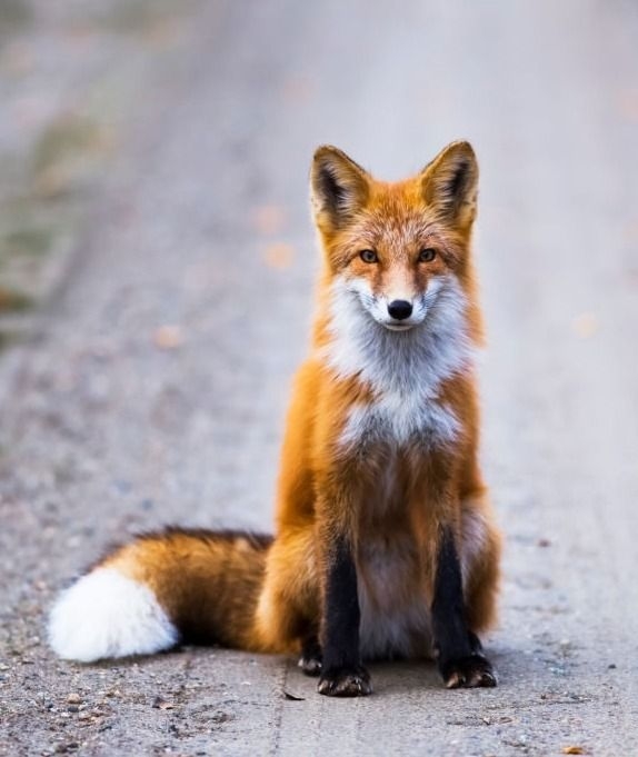 Red Fox, Interior Alaska, USA by © Steven Miley #cutefox