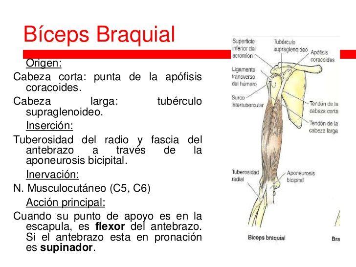 Bíceps Braquial Origen:Cabeza corta: punta de la apófisis ...
