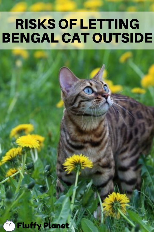 Is It Safe To Let A Bengal Cat Outside 2020 Cats Outside Bengal Cat Cats