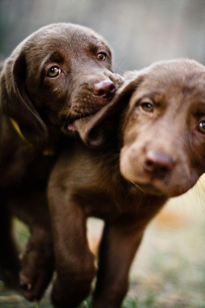 Labrador Puppy Www Wix Com Marcomendez Fotografia Labradorretriever Labradorpuppy Labradorretrieverpuppies In 2020 Hunde Welpen Hunde Welpen