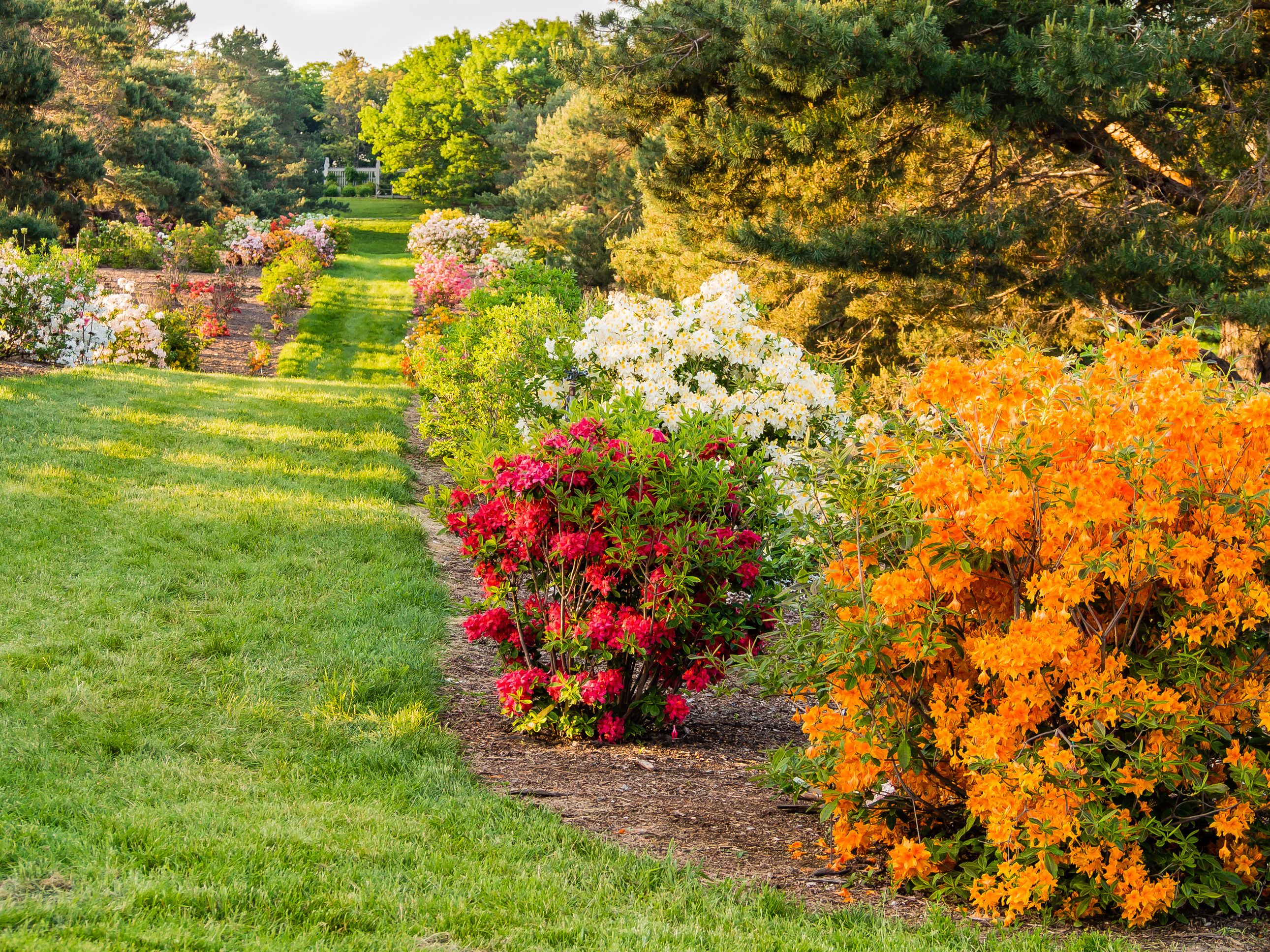 Azalea Pathway Annual garden, Azaleas garden, Tulips garden
