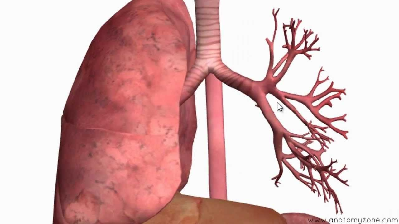 Respiratory System part II: The Bronchial Tree to the Lungs https ...