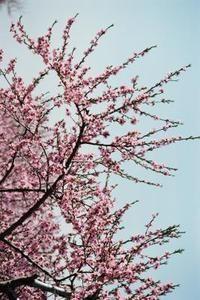 Cherry Trees That Do Not Bear Fruit Flowering Crabapple Tree Flowering Trees Flowering Crabapple