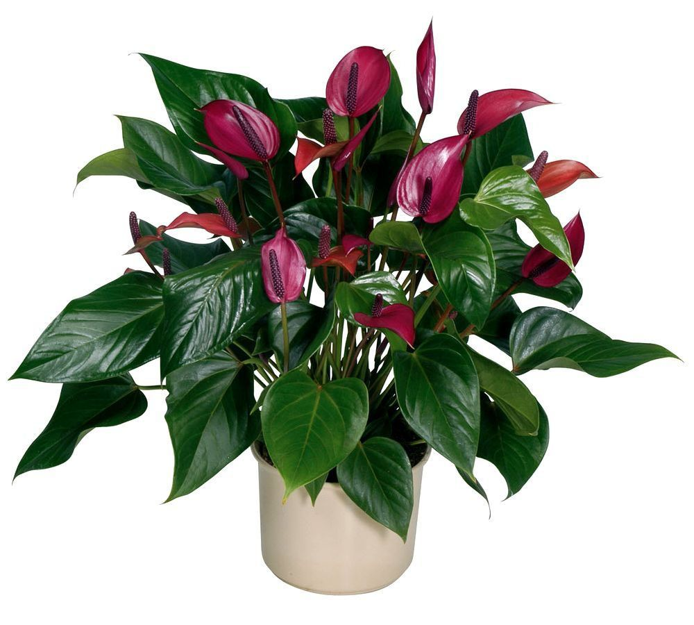 Цветы антуриум посадка и уход фото